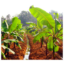 Fruit Exporters in Sri Lanka - Vegetable Exporters in Sri Lanka - Calton Agriculture - Agriculture Producers in Sri Lanka - Fruit Growers in Sri Lanka - Vegetable Growers in Sri Lanka - Agriculture Exporters in Sri Lanka
